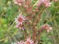 Fleur04-Joubarbe